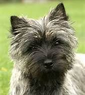 cairn terrier - Bing Images
