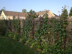 For about $40 worth of plastic mesh netting and some staples.  Morning Glory vines will cover a fence in a few months, but need to be torn down when they die in the winter.  Takes a little work to control the self seeding, but it's worth the work.