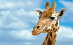 Giraffe Pictures, Images