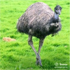 #SomethingAboutAustralia Emus are the second largest bird in existence and is national bird of #Australia