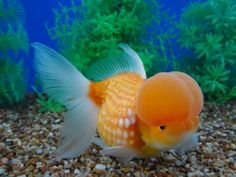 Crowned Pearlscale Goldfish Auction. 12/18/2013