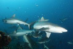 Sharks are Sociable! New research sheds light on shark behavior.