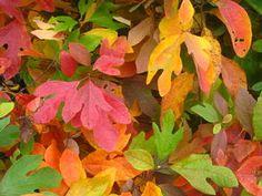 Sassafras Leaf Identification   Sassafras albidum - Common Sassafras