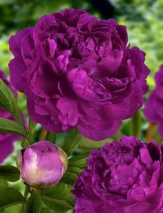 Peonies are great flowers to add to your garden, because they are big enough for others to see from the sidewalk in front of your home. I need to add this color shade into my garden also. My current peonies are a beautiful shade of dark pink. Purple Peonies, Purple Flowers, White Peonies, Poppy Flowers, Peony Colors, Purple Rose, Exotic Flowers, Yellow Roses, Pink Roses