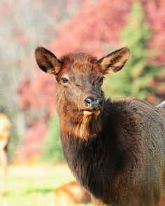 Cow Elk, Wild Things, Bambi, Pennsylvania, Goats, Deer, Photo Ideas, Wildlife, Outdoors
