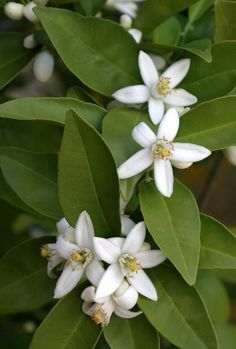 Orange blossoms.  Eight million open in the grove right now.