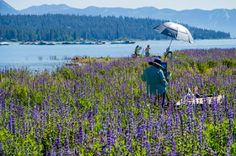 Cathie Richardson Illustration: Tahoe City Lupine Beach Plein Air Painting