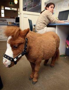 Koda le plus petit cheval du monde <3