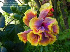 View picture of Tropical Hibiscus 'Gator Magic' (Hibiscus rosa-sinensis) at…