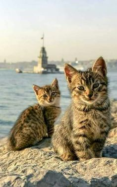 only in turkye u see such abeautiful cats