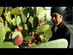 How to eat prickly pear straight from the cactus