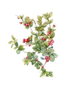 Watercolor cowberry #illustration #watercolor #botanical #cowberry #draw #botanicalwatercolor