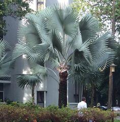 Bismarck Palm - Bismarckia nobilis - Google Search