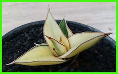 Sansevieria Pinguicula variegated rare plants 虎尾兰 サンセベリア虎尾蘭   eBay