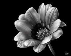 Gazinia in Black and White