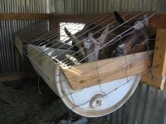 An ideal hay feeders made from 2 half plastic barrels.  No possibility of faecal contamination.  #goatvet