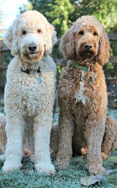 Things we admire about the Athletic Poodle Pup Goldendoodle Haircuts, Goldendoodle Grooming, Dog Grooming, Dog Haircuts, Poodle Grooming, Animals And Pets, Cute Animals, Poodle Haircut, French Dogs