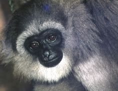 Silvery Gibbon - This Gibbon is critically endangered due to  habitat loss, logging and capture of the young for pet trade. It has been, by nature scientists, estimated that 98% of their home has been destroyed.
