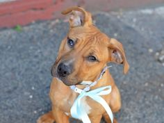 SAFE 4-24-2015 --- Brooklyn Center M&M – A1033061  MALE, BROWN / WHITE, AM PIT BULL TER / RHOD RIDGEBACK, 7 mos STRAY – STRAY WAIT, NO HOLD Reason STRAY Intake condition EXAM REQ Intake Date 04/13/2015