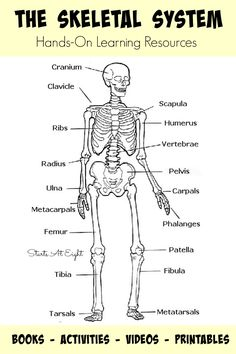 The Skeletal System: Hands-On Learning Resources from Starts At Eight. This is list of hands-on skeletal system activities, books, videos, and printables from teaching the skeletal system for all ages. Great homeschool activities such as Life Sized Human Skeletal Printable activity.