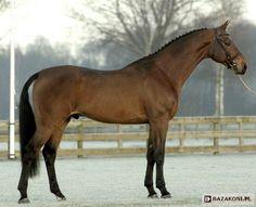 Dutch Warmblood - stallion Placido
