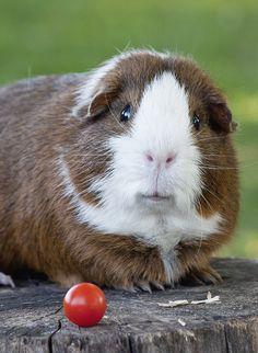 What's this?                                             #GuineaPig #piggies