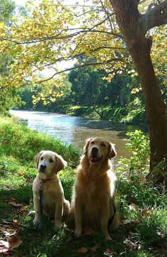 Golden Retriever & Pup ~ Classic Look & Trim Cute Puppies, Cute Dogs, Dogs And Puppies, Doggies, Beautiful Dogs, Animals Beautiful, Beautiful Scenery, Chien Golden Retriever, Golden Retrievers