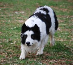 Skyview Border Collies... between Richmond and Charlottesville