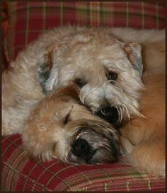 My Wheaten Terriers, Tucker & Riley