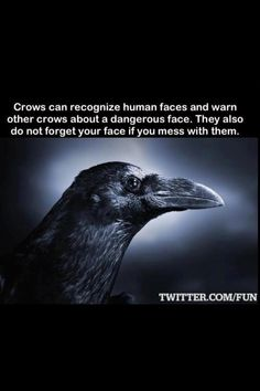 Did YOU know this is a RAVEN and NOT a crow?o<<Reposting for that very comment Animals And Pets, Cute Animals, Jackdaw, Crows Ravens, She Wolf, Animal Facts, Animal Totems, Weird Facts, Fun Facts