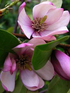 Fairy Magnolia 'Blush' just blooms and blooms.  Photo by Denise Pierce, Red Bay Alabama