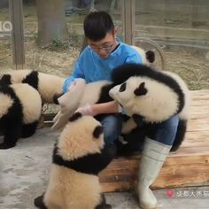 Baby Animals Panda So Cute Trendy Ideas Cute Funny Animals, Cute Baby Animals, Animals And Pets, Nature Animals, Baby Panda Bears, Baby Pandas, Cute Panda Baby, Panda Babies, Red Pandas