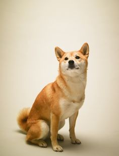 shiba inu - my dream dog...if there is such a thing lol