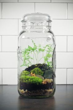Giant Ball Jar Terrarium It's over a gallon and 13 inches tall! Giant Ball Jar Terrarium It's over a Terrarium Diy, Mason Jar Terrarium, Mason Jars, Ideas Florero, Air Plants, Indoor Plants, Small Plants, Moss Garden, Bottle Garden