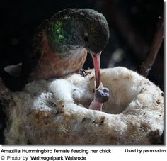 Amazilia Hummingbird female feeding her chick - photo by Weltvogelpark Walsrode by claudia Pretty Birds, Love Birds, Beautiful Birds, Baby Animals, Cute Animals, Hummingbird Nests, Photo Animaliere, Wild Life, Tier Fotos