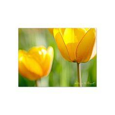 Blumenbild auf Leinwand, als Kunstdruck oder Fototapete  Frühlingsbild Sonnengelbe Lieblingstulpen