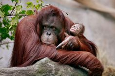 """Sumatran orangutans are designated as Critically Endangered by the IUCN, with a population of just a few thousand, while the Borneo orangutan is considered Threatened. The UN calls the current status of the remaining orangutans """"a conservation emergency."""" Habitat destruction caused by the massive expansion of palm oil plantations is a primary reason orangutans are facing the threat of extinction.      http://ran.org/indonesia%E2%80%99s-rainforests-biodiversity-and-endangered-species"""