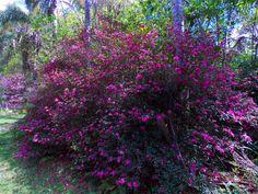 Azaleias vermelhas na avenida dos Jerivás