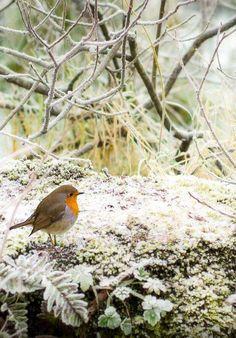 Robin on a frosty morning by Enda McAuley All Birds, Little Birds, Animals And Pets, Cute Animals, European Robin, Robin Redbreast, British Garden, Robin Bird, Winter Magic