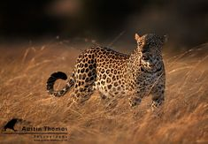 A leopard anyone? - Taken early morning whilst on a photographic safari in Kenya...by Austin Thomas on 500px
