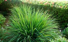 Formosa Casa: Jardim De Ervas E Feng Shui! Perennial Grasses, Perennials, Grow Lemongrass, Pet Dogs, Dog Cat, High Country Gardens, Lemon Health Benefits, Losing A Pet, Drought Tolerant