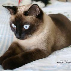 Siamese Cat Behavior | Cat Photo: Siamese cat Shadow Apple Head Seal Point