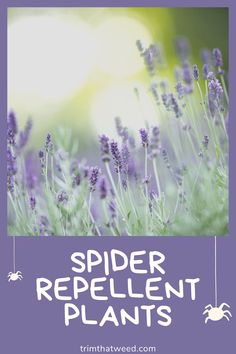 Searching for the best spider repellent plants that will keep the eight-legged creatures away? Take a look at what I did to deal with them. Keep Spiders Away, Get Rid Of Spiders, House Plant Care, House Plants, Plants That Repel Spiders, Peppermint Plants, Dwarf Plants, Lemon Health Benefits, Animals Information