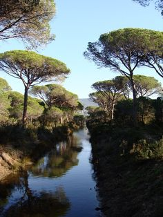 Maremma - i favolosi pini marini della pineta...province of Grosetto , Tuscany region