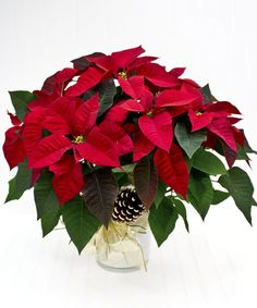 """The perfect way to say """"Merry Christmas."""" Send a decorative poinsettia plant and that special someone will indeed have a Merry Christmas! Big Plants, Exotic Plants, Growing Flowers, Planting Flowers, Poinsettia Plant, Flower Pot Design, Sympathy Flowers, Christmas Flowers, Funeral Flowers"""