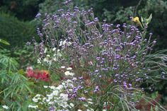 Verbena 'Lavender Spires', Opus Plants.