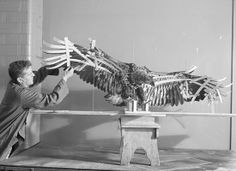 """Taxidermist mounting eagle for bird group display, North American Bird Hall."" Photo by Alex J. Rota. American Museum of Natural History Library."