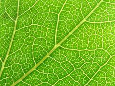 Green leaf veins 04 - Nature Textures