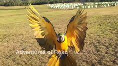 Free Flight Parrot Day 3