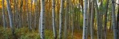 Aspen Grove, Kebler Pass, Colorado, USA Photographic Print by Terry Eggers at AllPosters.com